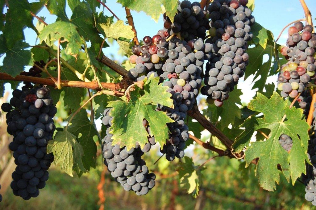 Tra le Vigne del Monferrato